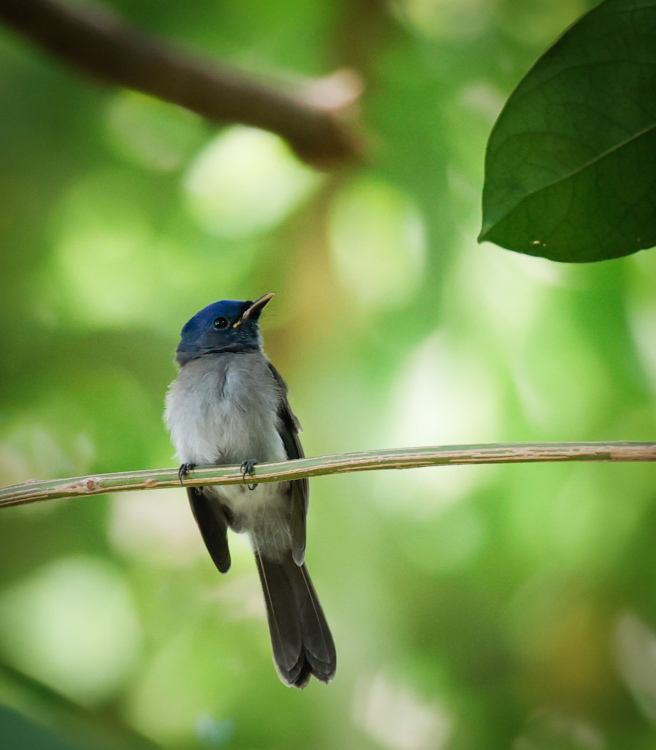 Black Naped Monarch by Alexander John