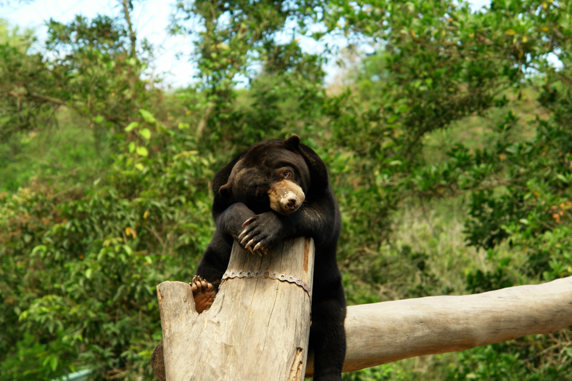 The smallest bear on earth. the Sunbear, taking its evening rest