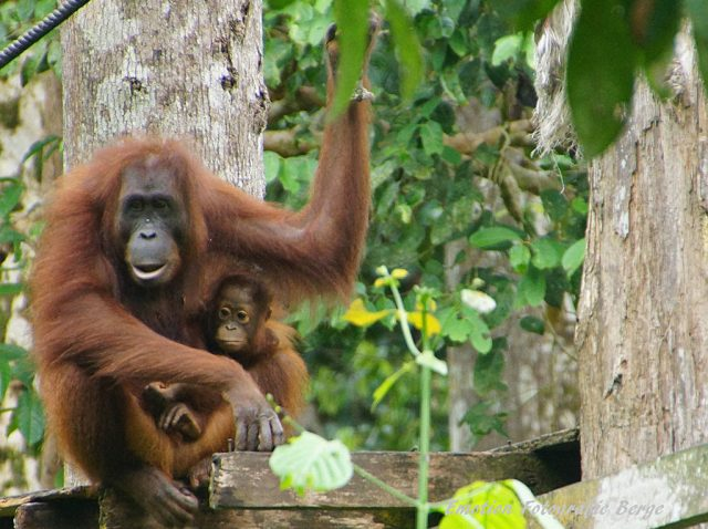 Sabah: Land of Mountains, Rainforest and Orangutan