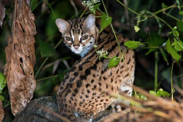 Where To See Wild Cats In Borneo?