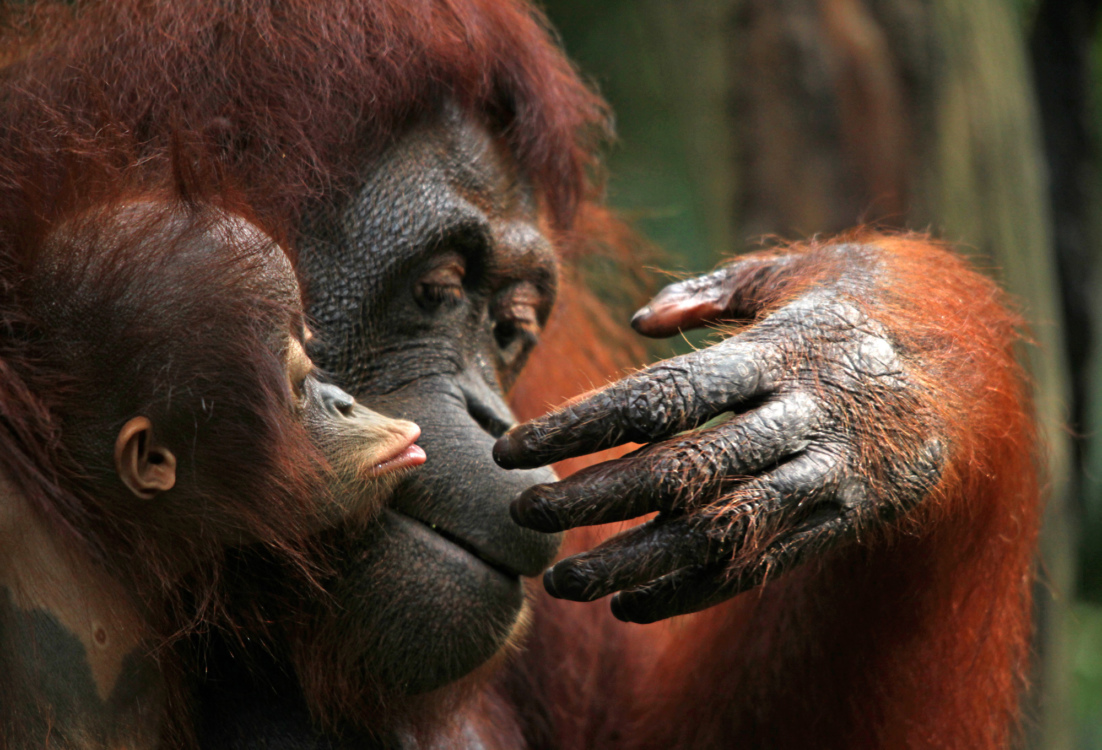 Orangutans are just like us, their ability to show different types of emotions shows just how similar they are to us humans